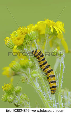 "Stock Images of ""Caterpillar, Cinnebar Moth (Tyria jacobaeae), on."