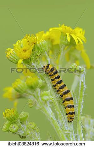 "Stock Images of ""Caterpillar, Cinnebar Moth (Tyria jacobaeae), on."