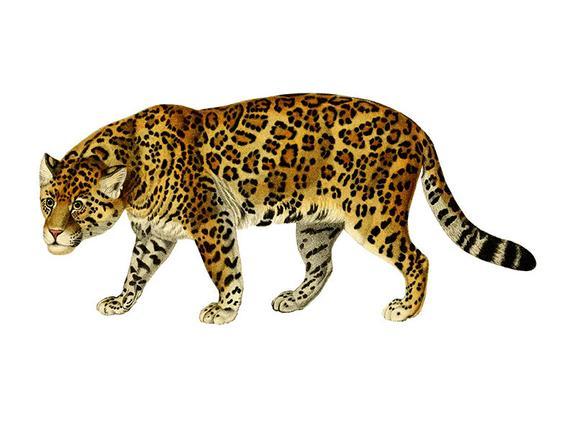 Vintage Jaguar Clipart, Jaguar Clipart, Children's Wall Art.