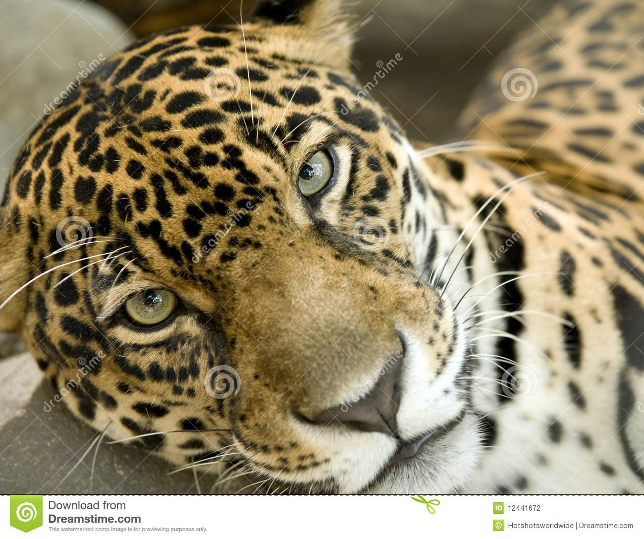 Jaguar Eyes Clipart#1915872.