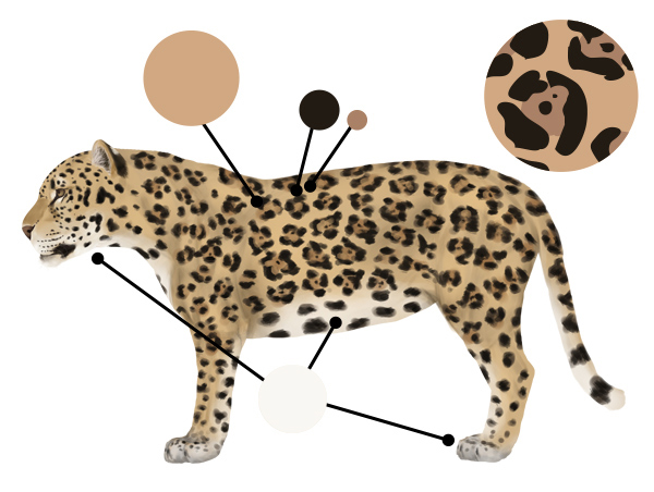 How to Draw Animals: Big Cats, Their Anatomy and Patterns.