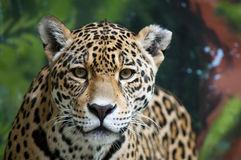Jaguar Eye Royalty Free Stock Images.