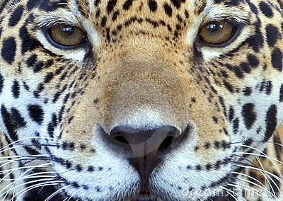 Eye Of The Jaguar Royalty Free Stock Photos.