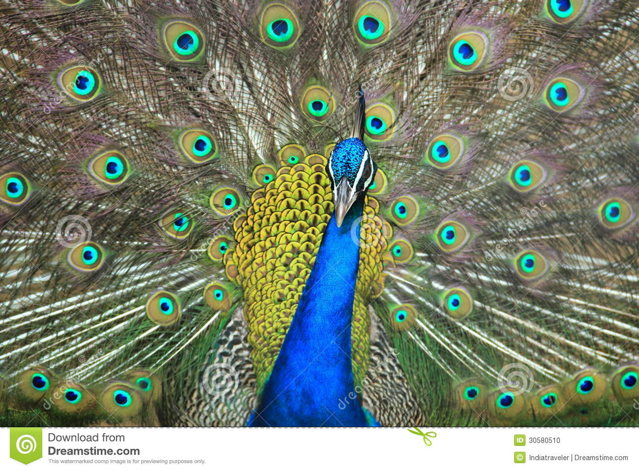 Peacock Displaying Its Feathers. Stock Photo.