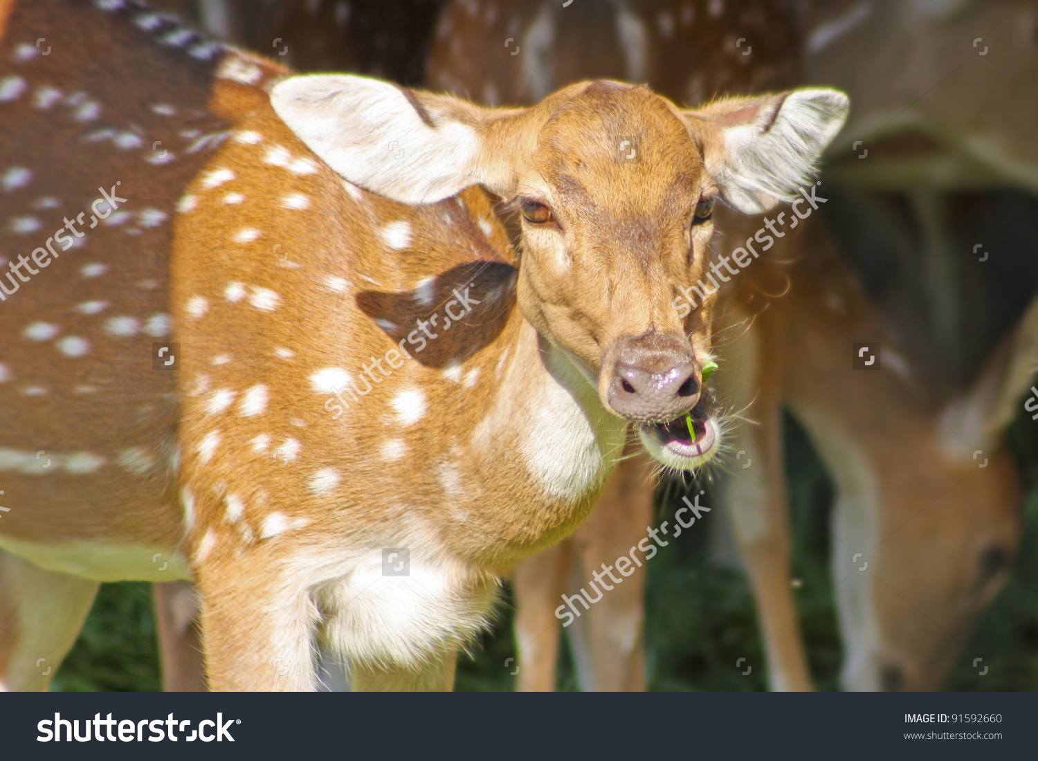 Funny Deer Taken In Zoo, Jaipur, Rajastan, India Stock Photo.