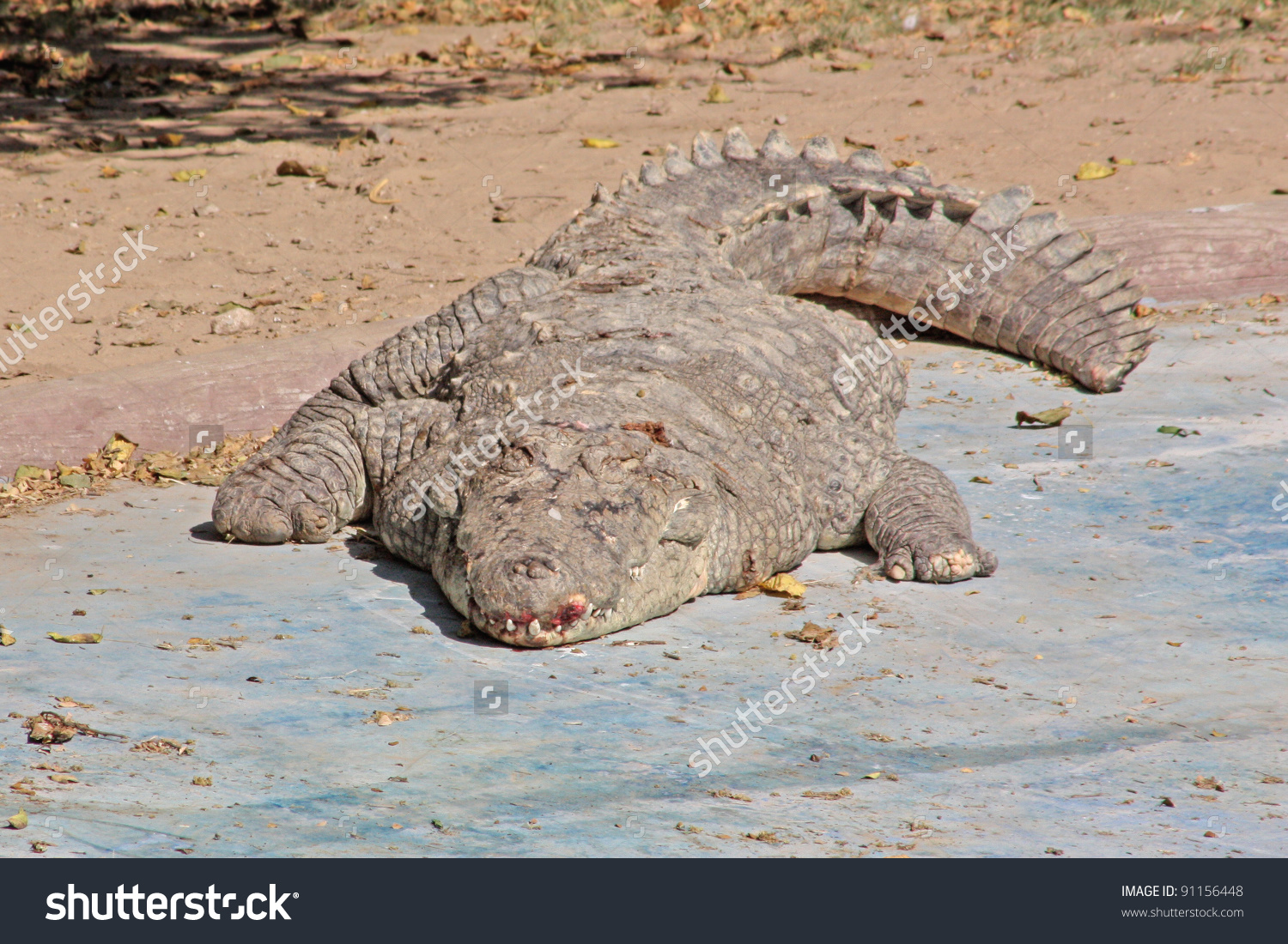 Alligator Jaipur Zoo India Stock Photo 91156448.