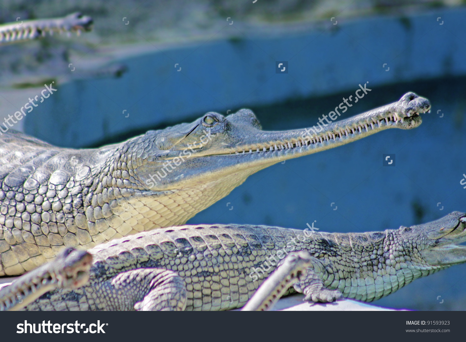 Alligator In The Jaipur Zoo, India Stock Photo 91593923 : Shutterstock.