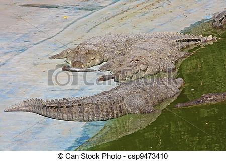 Stock Photography of Alligator in the Jaipur Zoo, India csp9473410.