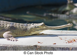 Stock Photography of Alligator in the Jaipur Zoo, India csp9473420.