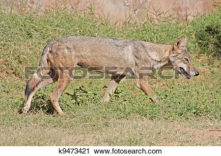 Stock Photography of indian wolf taken on the jaipur zoo k9473421.