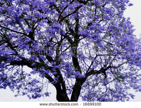 Jacaranda Tree Stock Photos, Royalty.