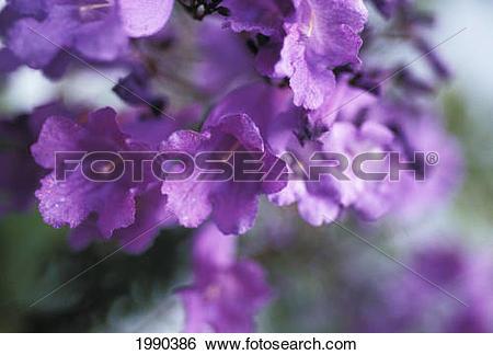 Stock Images of Jacaranda Fern Tree, (Jacaranda Acutifolia) Soft.