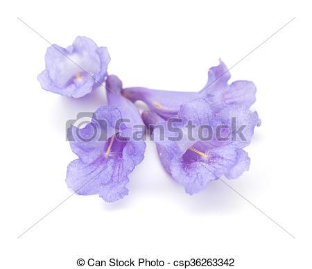 Stock Photo of jacaranda flowers isolated.
