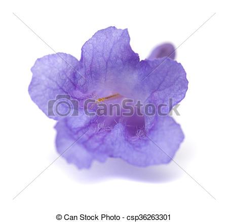 Stock Photography of jacaranda flowers isolated.