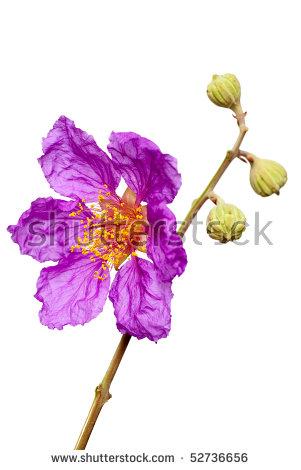 Jacaranda Flower Stock Photos, Royalty.
