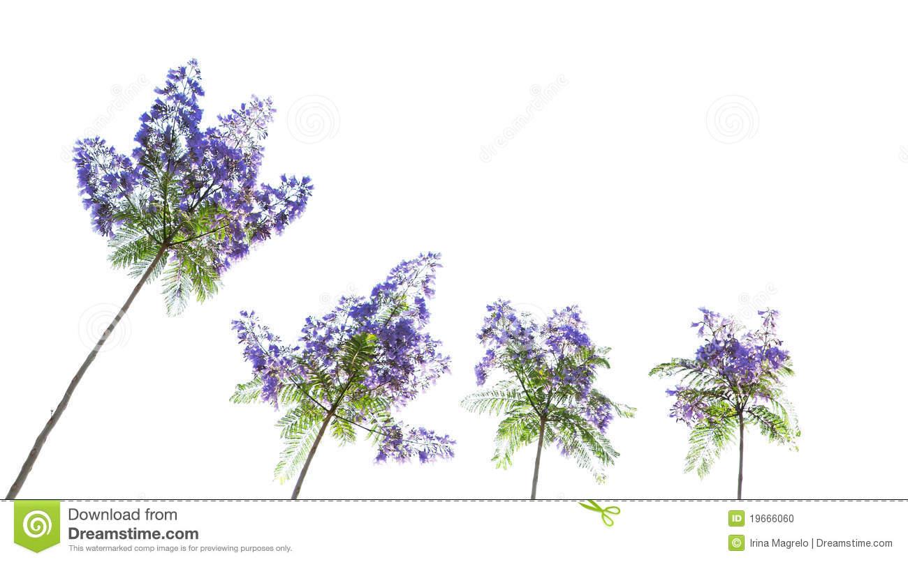 Jacaranda Tree Flowers Stock Photo.