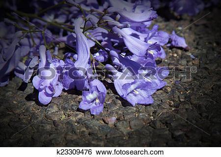 Stock Images of Macro of small purple jacaranda flowers lying on.