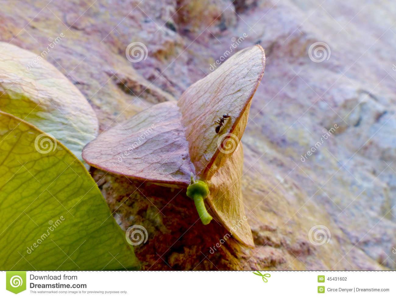 Jacaranda Seed Pod Stock Photo.