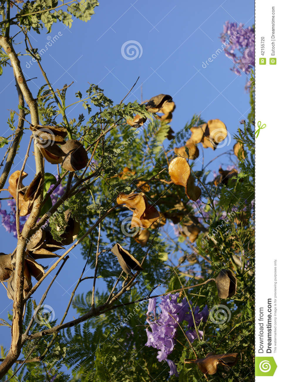 Jacaranda Seed Pods Stock Photo.