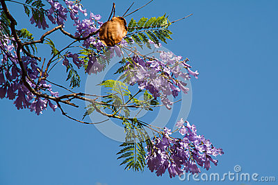 Jacaranda Seed Pod Stock Photo.