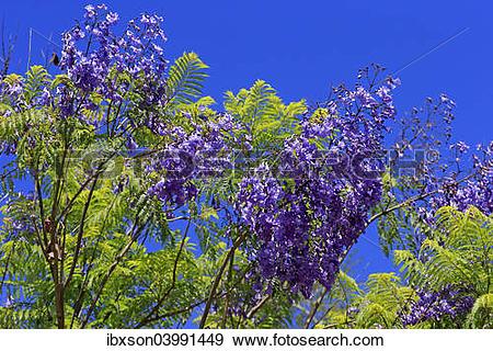 """Stock Photograph of """"Jacaranda or Blue Jacaranda (Jacaranda."""