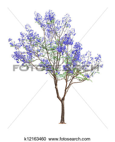 Stock Photography of beautiful blooming Jacaranda tree k12163460.
