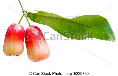 Stock Images of water apple, chomphu, rose apple, Malabar plum on.