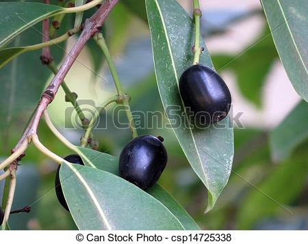 Stock Photos of Ripe Jamun.