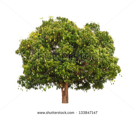 Mango Tree Stock Images, Royalty.