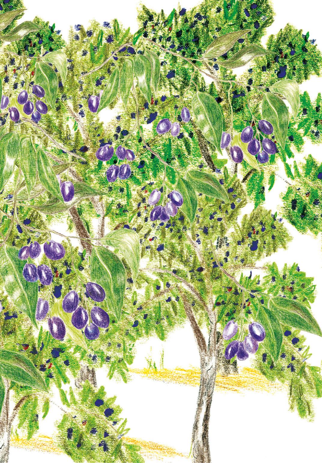 Jamun tree.
