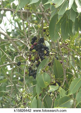 Stock Photo of Syzigium cuminii, Jamun on tree k15826442.