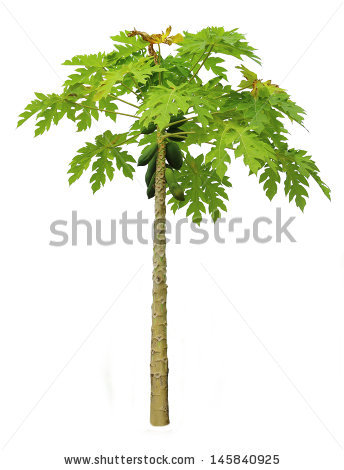 Papaya Tree Stock Images, Royalty.