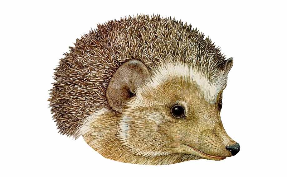 Download Hedgehog Png Transparent Images Transparent.