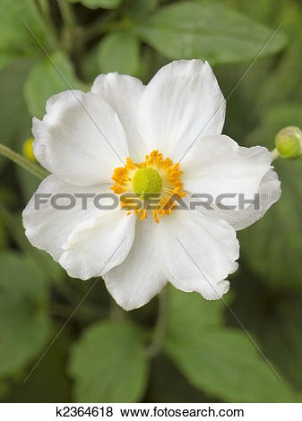 Pictures of japanese anemone 2 k2364618.