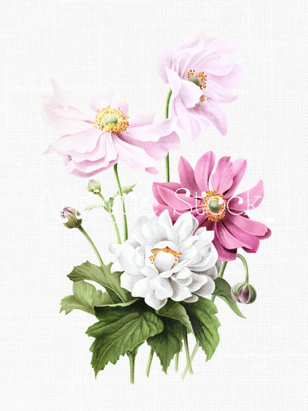 Pink and White Flowers Clipart 'Japanese Anemones' Botanical.
