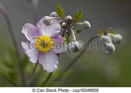 Stock Images of Lilac Japanese anemone with buds csp18348859.