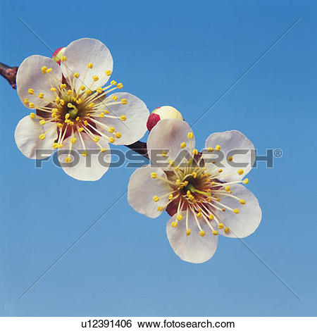 Stock Images of Close Up Image of Japanese Apricot Flower.