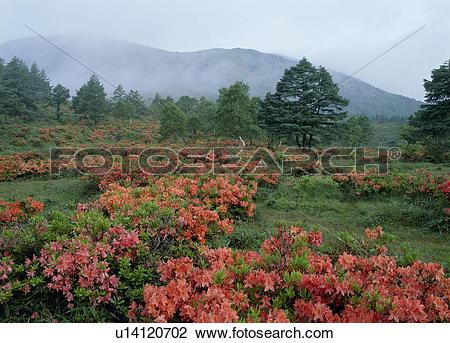 Stock Photo of Japanese Azalea, Tomi, Nagano, Japan u14120702.