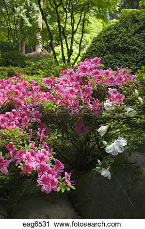 Stock Photography of Red azaleas bloom at the Portland Japanese.
