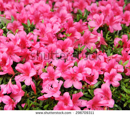 Azalea Stock Photos, Royalty.
