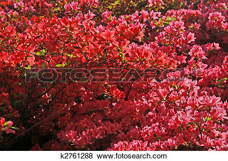 Pictures of Rhododendron, Japanese Azalea k2761288.