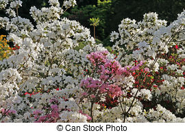 Pictures of Rhododendron, Japanese Azalea in spring csp2761288.