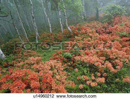 "Stock Photo of ""Japanese Azalea and Japanese White Birch, Iwate."