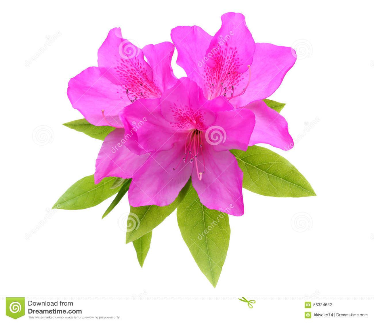 Purple Azalea Flower Stock Photo.