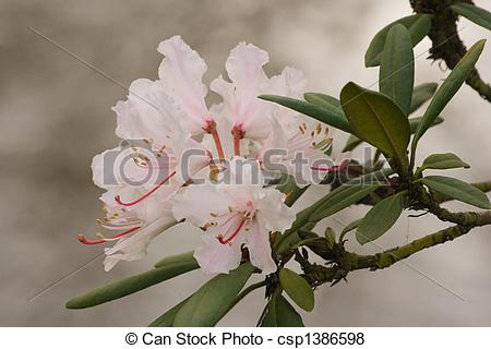 Pictures of Flowers of japanese azalea in spring at the waterside.