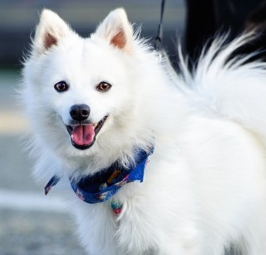 Japanese Spitz Puppies for Sale Singapore 2017.