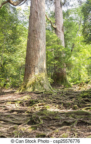 Picture of Raised roots forest.