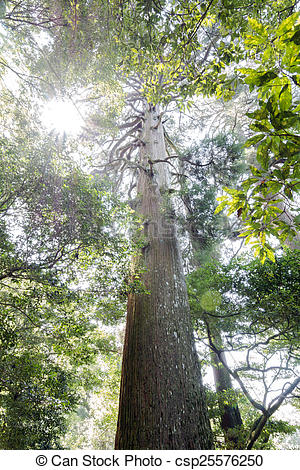 Stock Images of Large japanese cedar tree.