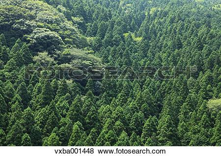 Pictures of Japanese cedar forest, Shizuoka Prefecture vxba001448.