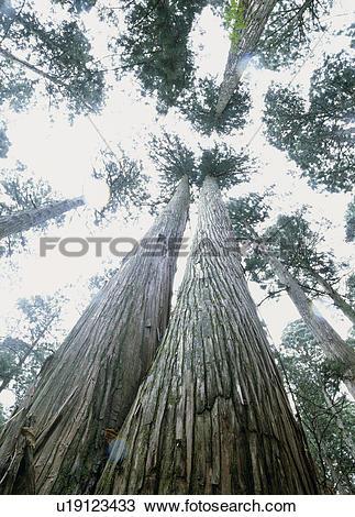 """Stock Photo of """"Japanese Cedar Tree, Akita, Japan"""" u19123433."""